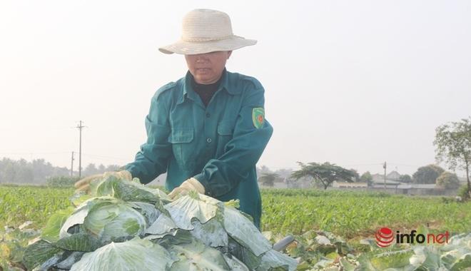 Bán cả xe 200-300 bắp cải được 100 nghìn đồng, dân Nghệ An 'khóc ròng' - Ảnh 2.