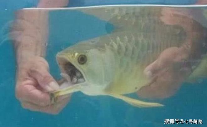 Mua con cá rồng bạc triệu về nhà nhưng cá không bơi, không ăn uống gì: Hoảng hồn nhận ra sự thật khi cậy miệng con vật! - Ảnh 1.