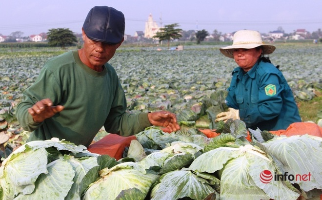 Bán cả xe 200-300 bắp cải được 100 nghìn đồng, dân Nghệ An 'khóc ròng'