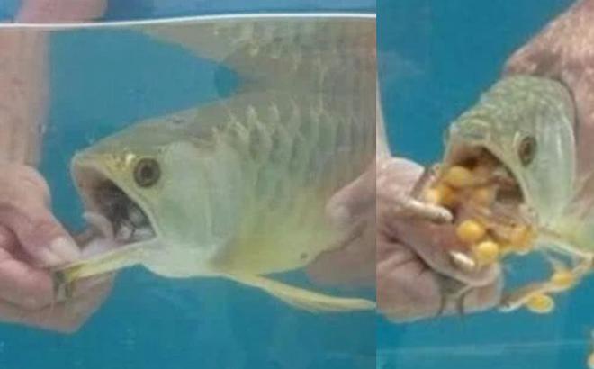 Mua con cá rồng bạc triệu về nhà nhưng cá không bơi, không ăn uống gì: Hoảng hồn nhận ra sự thật khi cậy miệng con vật!