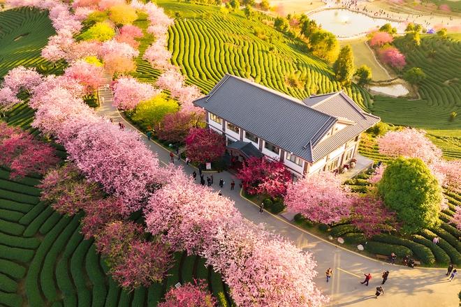24h qua ảnh: Hoa anh đào nở rực rỡ trong nắng ấm ở Trung Quốc - Ảnh 2.
