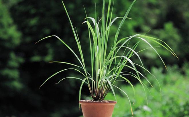 7 loại cây gia vị bạn nên trồng để vừa ăn ngon vừa đuổi gián, muỗi cực hiệu quả