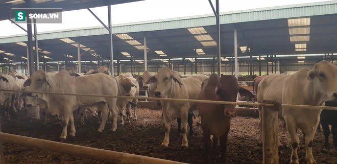 Ông Tam Asanzo làm trang trại bò: Chấp nhận bán phân không lãi trong 2 năm - Ảnh 2.