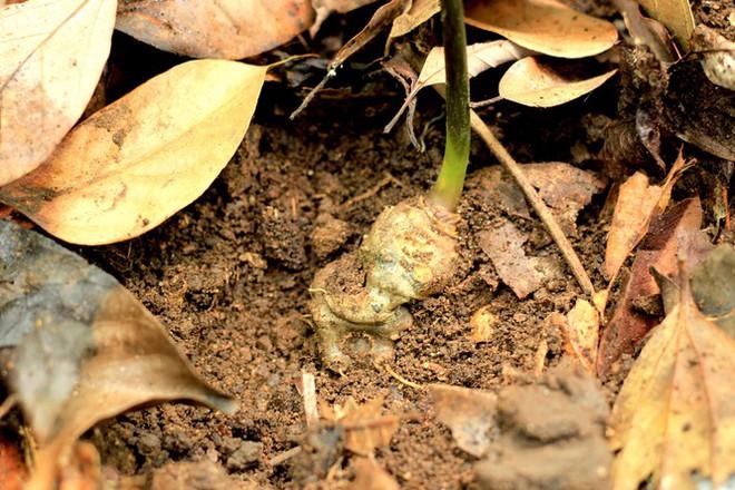 Kỳ lạ vườn sâm quý giúp giữ rừng ở Kon Tum - Ảnh 14.