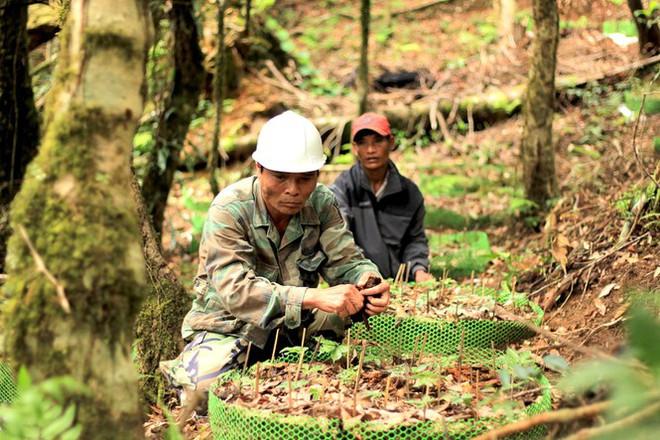 Kỳ lạ vườn sâm quý giúp giữ rừng ở Kon Tum - Ảnh 16.
