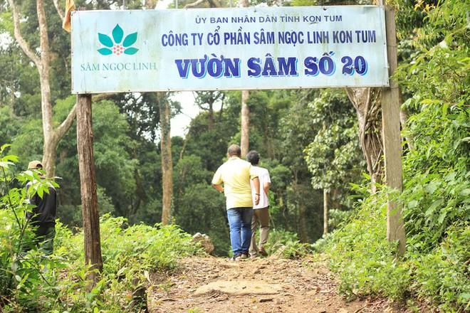 Kỳ lạ vườn sâm quý giúp giữ rừng ở Kon Tum - Ảnh 3.