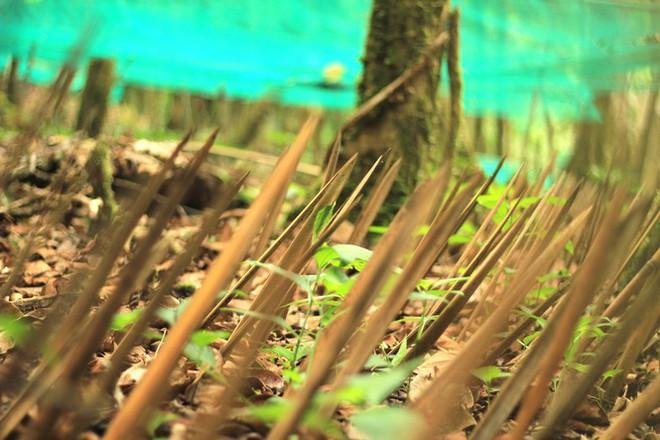Kỳ lạ vườn sâm quý giúp giữ rừng ở Kon Tum - Ảnh 7.