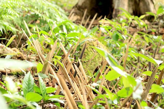 Kỳ lạ vườn sâm quý giúp giữ rừng ở Kon Tum - Ảnh 8.