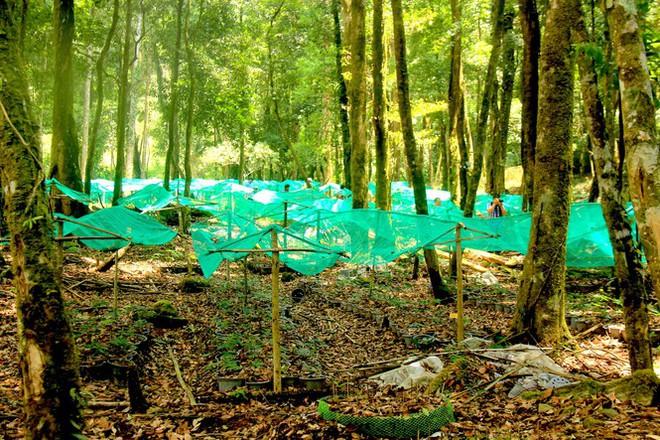 Kỳ lạ vườn sâm quý giúp giữ rừng ở Kon Tum - Ảnh 9.