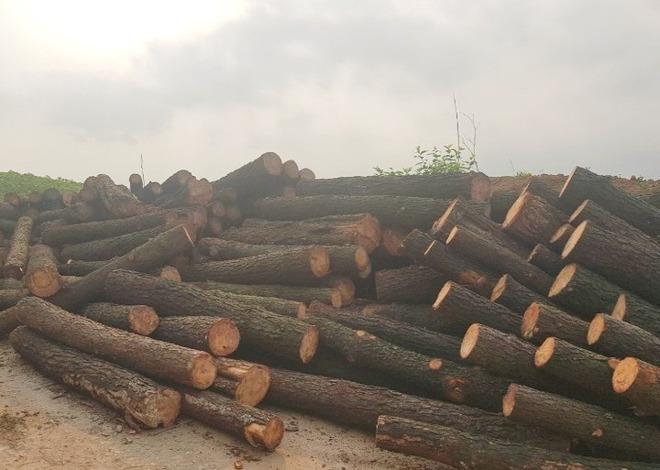 Con rể dùng cưa xăng đi phá rừng thông hơn 40 tuổi của bố vợ được giao quản lý - Ảnh 1.