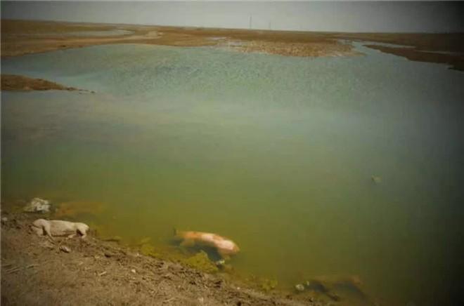 Vụ 10.000 xác lợn chết trên sông ở Thượng Hải và vấn nạn kéo dài làm đau đầu chính quyền TQ - Ảnh 1.