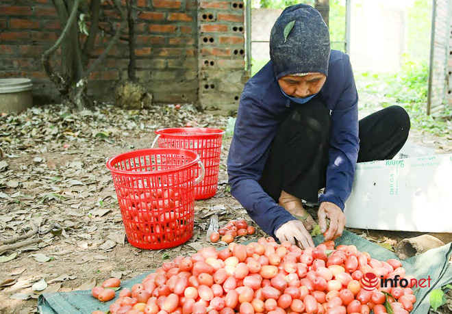 Trồng loại quả vừa chua vừa chát, người Hà Nội vẫn thu về trăm triệu đồng - Ảnh 2.