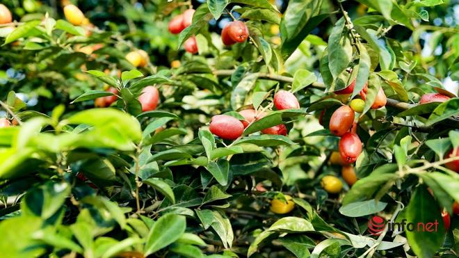 Trồng loại quả vừa chua vừa chát, người Hà Nội vẫn thu về trăm triệu đồng - Ảnh 11.