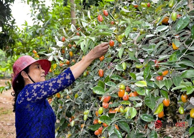 Trồng loại quả vừa chua vừa chát, người Hà Nội vẫn thu về trăm triệu đồng - Ảnh 3.