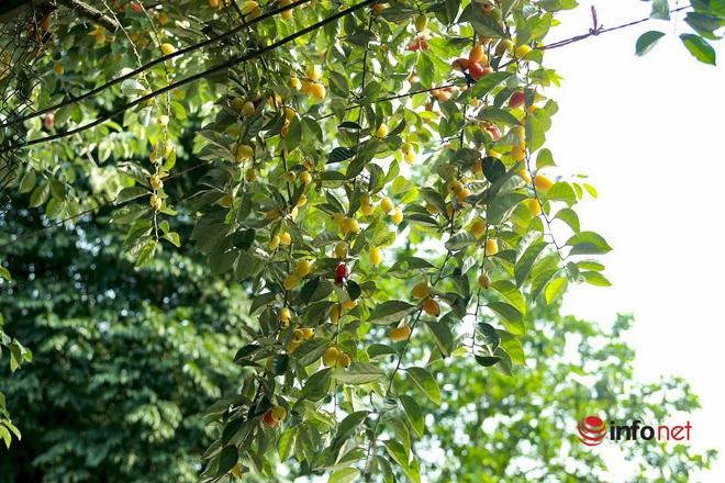 Trồng loại quả vừa chua vừa chát, người Hà Nội vẫn thu về trăm triệu đồng - Ảnh 7.