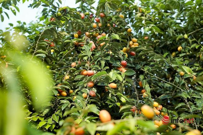 Trồng loại quả vừa chua vừa chát, người Hà Nội vẫn thu về trăm triệu đồng - Ảnh 8.