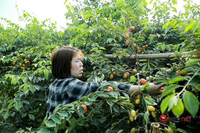 Trồng loại quả vừa chua vừa chát, người Hà Nội vẫn thu về trăm triệu đồng - Ảnh 9.