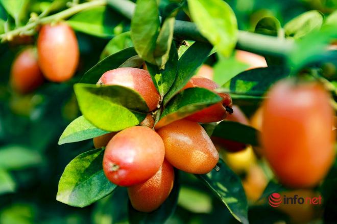 Trồng loại quả vừa chua vừa chát, người Hà Nội vẫn thu về trăm triệu đồng - Ảnh 10.