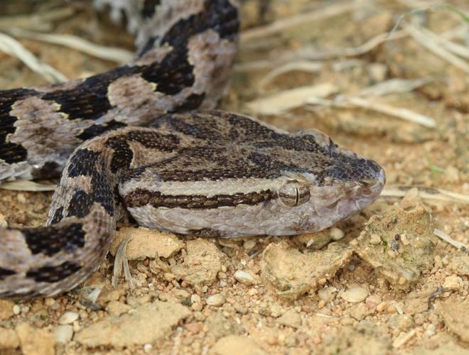 Phát hiện đáng sợ: Trái Đất sẽ có loài chuột độc, có thể phun nọc độc giống loài rắn - Ảnh 1.