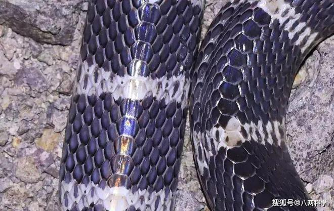 Loài rắn độc nhất TQ: 1 miligam nọc là đủ giết người, hổ mang chúa cũng khiếp sợ nhưng tính tình lại rất tương phản - Ảnh 1.
