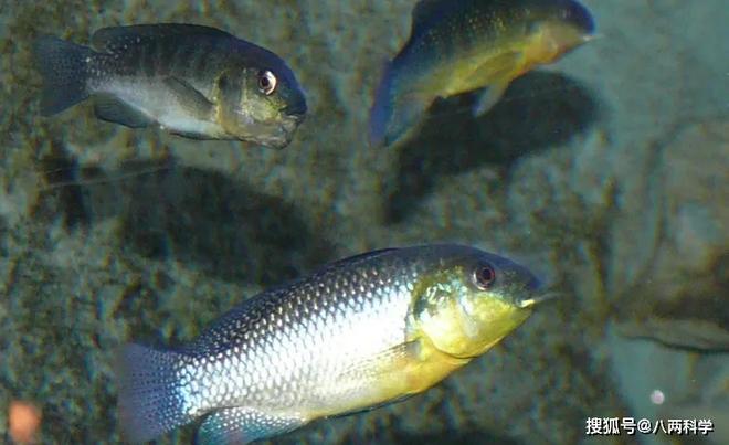 Loài cá duy nhất sống được trong hồ tử thần châu Phi: Kiếm ăn trên bờ vực cái chết, cá đang bơi có thể bị luộc chín - Ảnh 2.