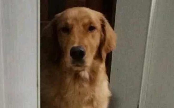 Chó cưng đứng chặn ở cửa, nhất định không cho chủ ra ngoài, lý do phía sau khiến bao người cảm động