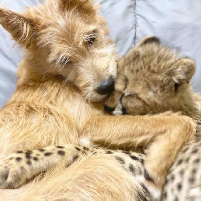 Chú chó cứu hộ đóng vai mẹ, nuôi lớn báo săn con: Thái độ của con báo khi lớn khiến nhân viên sở thú bất ngờ - Ảnh 3.