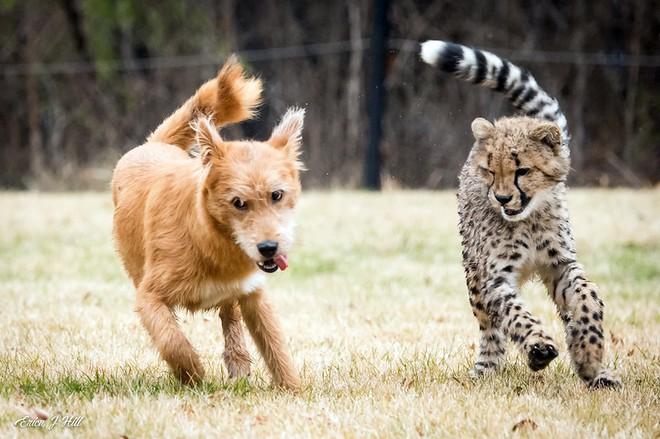 Chú chó cứu hộ đóng vai mẹ, nuôi lớn báo săn con: Thái độ của con báo khi lớn khiến nhân viên sở thú bất ngờ - Ảnh 4.