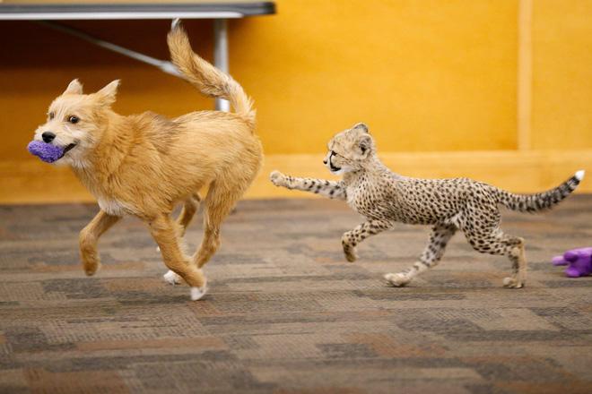 Chú chó cứu hộ đóng vai mẹ, nuôi lớn báo săn con: Thái độ của con báo khi lớn khiến nhân viên sở thú bất ngờ - Ảnh 1.