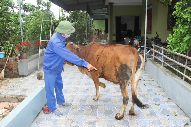 Trâu bò ở Nghệ An và Hà Tĩnh xuất hiện bệnh lạ hàng loạt, nổi u cục sần sùi trên toàn thân - Ảnh 1.