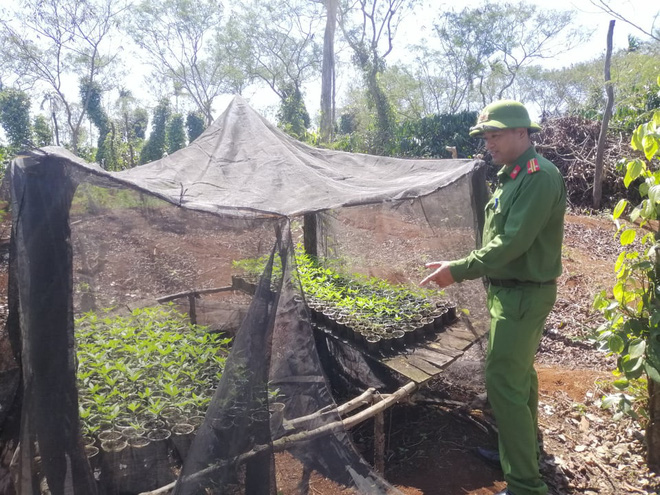 Hai anh em trồng hơn 1.500 cây cần sa ở Tây Nguyên - Ảnh 1.
