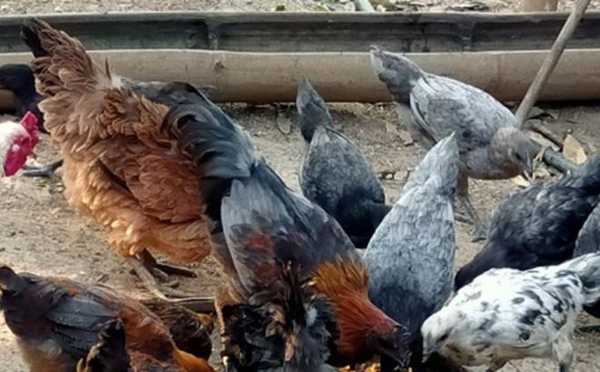 Người phụ nữ Mông thoát nghèo từ mô hình chăn nuôi, thu nhập hơn 100 triệu đồng/năm