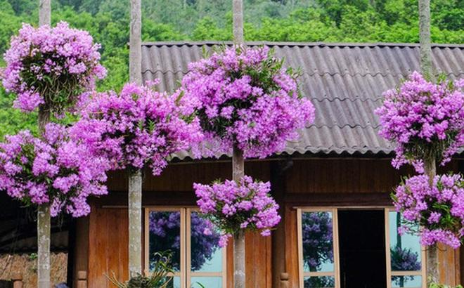 Cận cảnh vườn lan tím tuyệt đẹp treo trên hàng cây cau khiến ai cũng phải trầm trồ thích thú