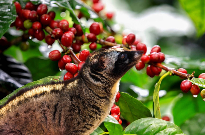 Sự thật về cà phê chồn đắt như vàng: Ly cà phê bịp bợm đạp trên số phận đau thương của những chú cầy hương - Ảnh 6.