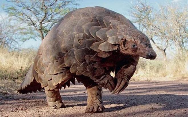 1001 thắc mắc: Động vật có chiếc lưỡi dài kỳ quái nhất hành tinh?  - Ảnh 2.