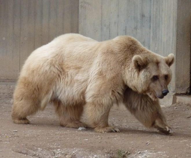 Gấu Bắc Cực buộc phải sống cùng gấu xám rồi nảy sinh tình cảm - sinh ra một loài gấu mới - Ảnh 2.
