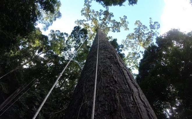 Phát hiện cây nhiệt đới cao nhất thế giới ở Malaysia, nặng gấp đôi chiếc Boeing 737-800