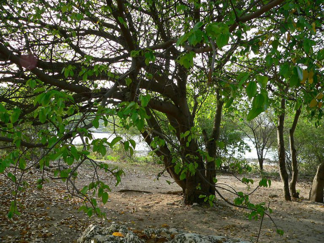 Cây đẹp nhưng đó là loài cây độc nhất hành tinh, chỉ đứng dưới bóng cây cũng chết người - Ảnh 6.
