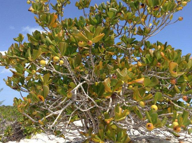 Cây đẹp nhưng đó là loài cây độc nhất hành tinh, chỉ đứng dưới bóng cây cũng chết người - Ảnh 3.
