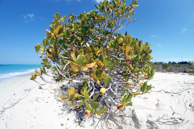Cây đẹp nhưng đó là loài cây độc nhất hành tinh, chỉ đứng dưới bóng cây cũng chết người - Ảnh 1.
