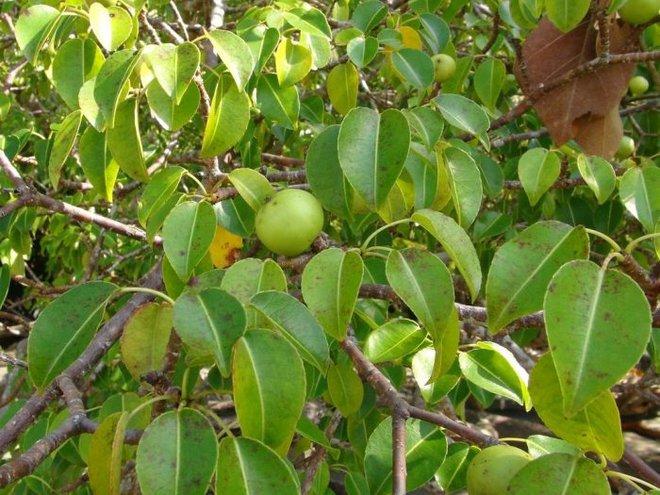 Cây đẹp nhưng đó là loài cây độc nhất hành tinh, chỉ đứng dưới bóng cây cũng chết người - Ảnh 4.
