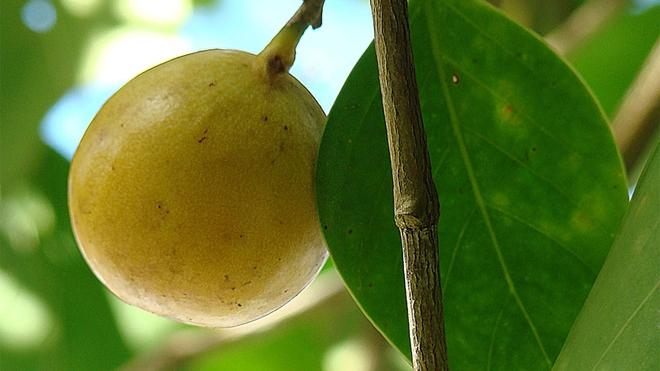Cây đẹp nhưng đó là loài cây độc nhất hành tinh, chỉ đứng dưới bóng cây cũng chết người - Ảnh 2.