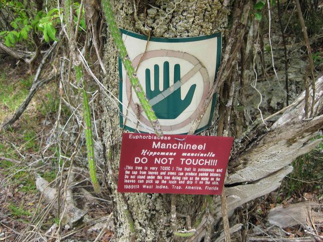 Cây đẹp nhưng đó là loài cây độc nhất hành tinh, chỉ đứng dưới bóng cây cũng chết người - Ảnh 5.