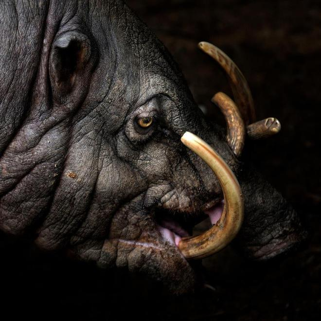 Loài lợn kì dị với răng nanh mọc dài đến nỗi có thể đâm thủng sọ của chính mình - Ảnh 1.