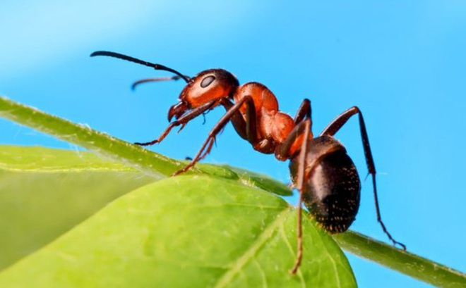 Nghiên cứu: Cách ly xã hội ảnh hưởng đến loài kiến cũng giống như cách con người khi bị cô lập