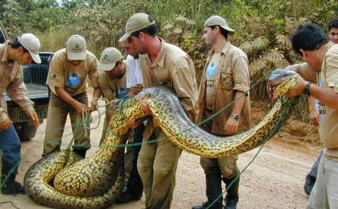 Những 'kỷ lục gia' đáng sợ trong thế giới loài rắn: Từ độc nhất tới dài nhất, cá thể nào cũng khiến con người phải rùng mình