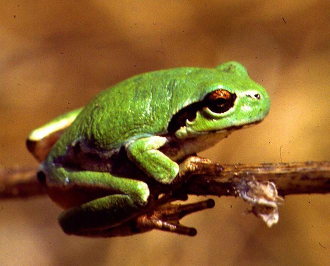 Kinh ngạc loài ếch tống toàn bộ... dạ dày ra bên ngoài để đào thải thức ăn độc hại - Ảnh 1.