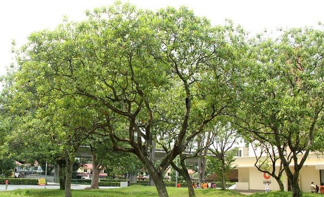 Loài cây hoa thơm quả có ích nhưng lại mang danh cây tự sát - ở Việt Nam có nhiều tên gọi - Ảnh 2.