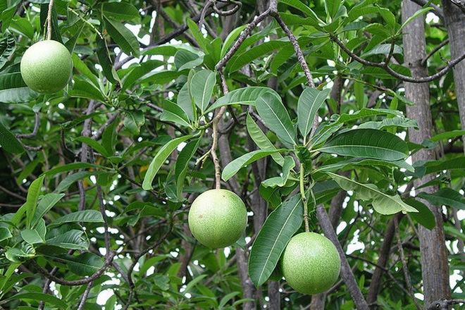 Loài cây hoa thơm quả có ích nhưng lại mang danh cây tự sát - ở Việt Nam có nhiều tên gọi - Ảnh 1.