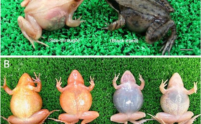 Kinh ngạc loài ếch tống toàn bộ... dạ dày ra bên ngoài để đào thải thức ăn độc hại